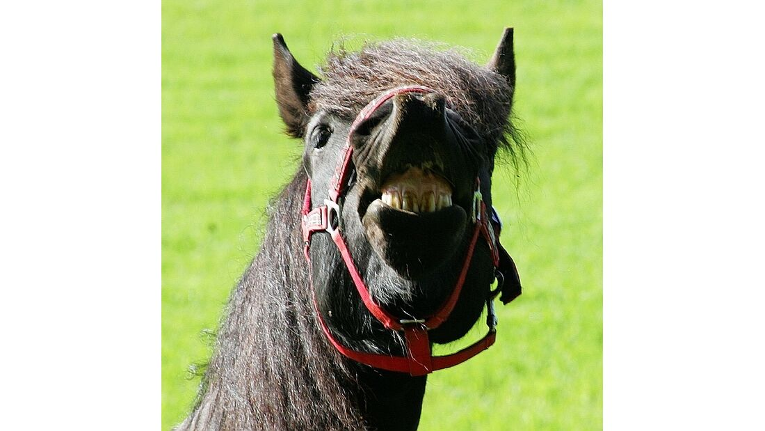 CAV Pferd Kopf Zähne Flähmen Wiehern