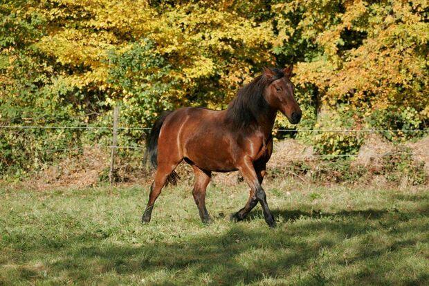 CAV Pferd Koppel Brauner Weide