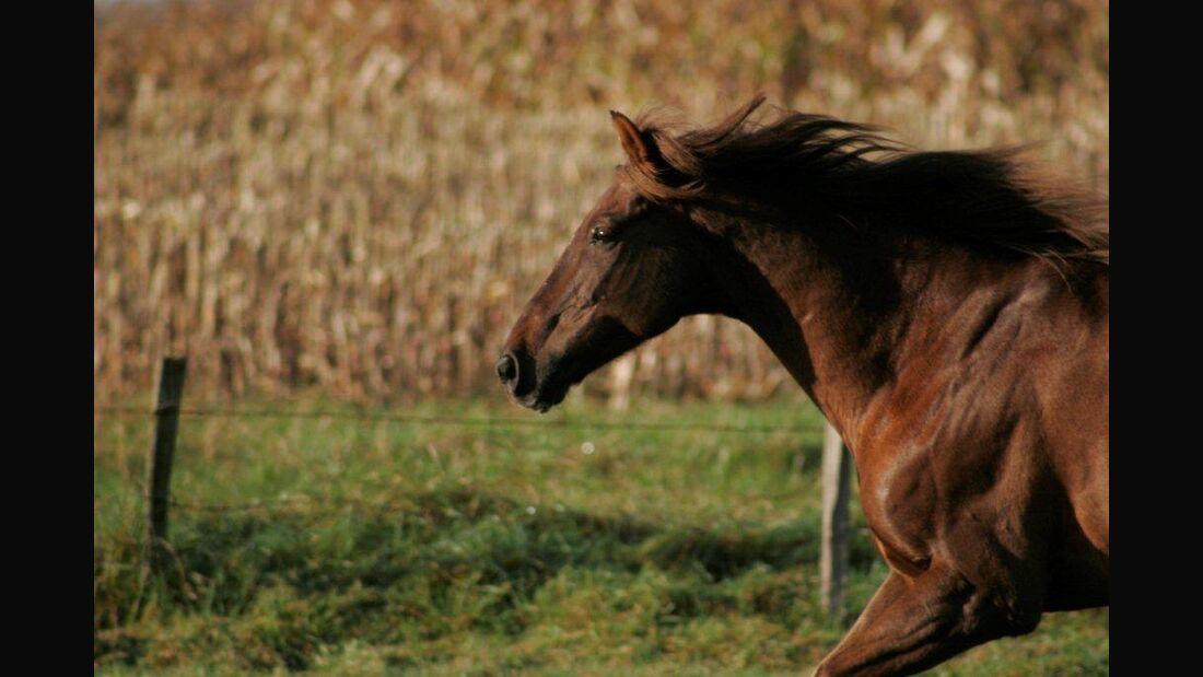 CAV Pferd Koppel Fuchs Weide Gras