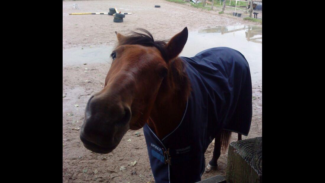 CAV Pferd Paddock Abschwitzdecke Kopf Brauner