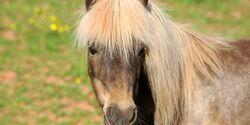 CAV Pferd Pony Shetty Shetland Kleinpferd Kopf