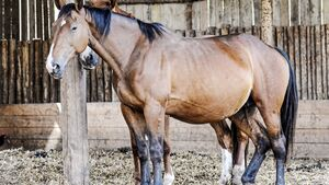 CAV Pferd Schlaf Schlafmangel Dösen