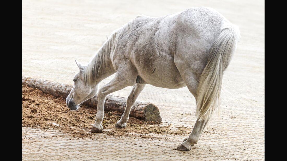 CAV Pferd Schlaf Schlafmangel müdes Pferd