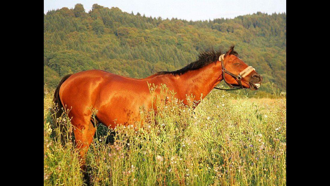 CAV Pferd Weide Koppel Pferdekopf