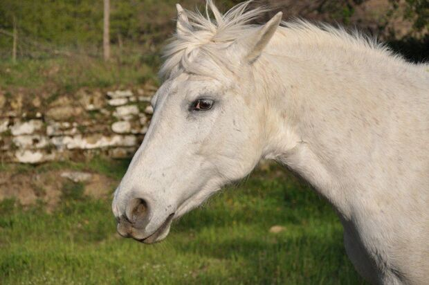 CAV Pferd Weide Koppel Pferdekopf Schimmel