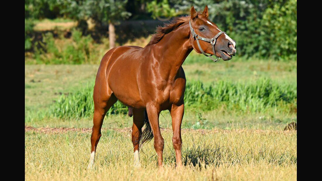 CAV Pferd auf Weide