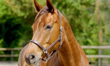 CAV Pferd mit Halfter