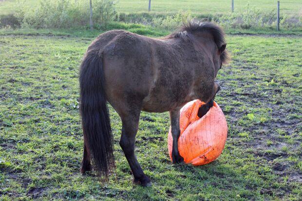 CAV Pferd spielt Ball Tasmate 10