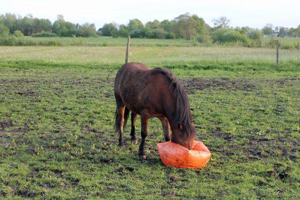 CAV Pferd spielt Ball Tasmate 11