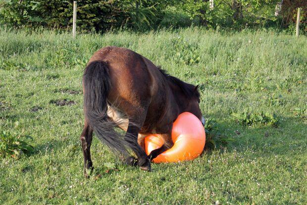 CAV Pferd spielt Ball Tasmate 2