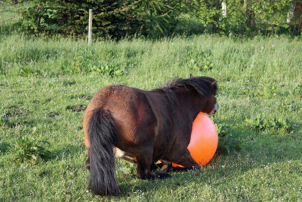 CAV Pferd spielt Ball Tasmate 3