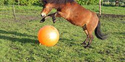 CAV Pferd spielt Ball Tasmate 5
