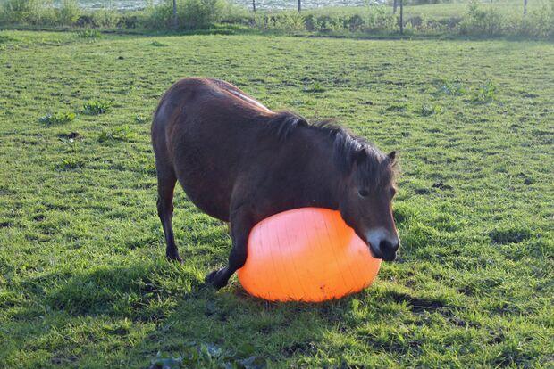 CAV Pferd spielt Ball Tasmate 8