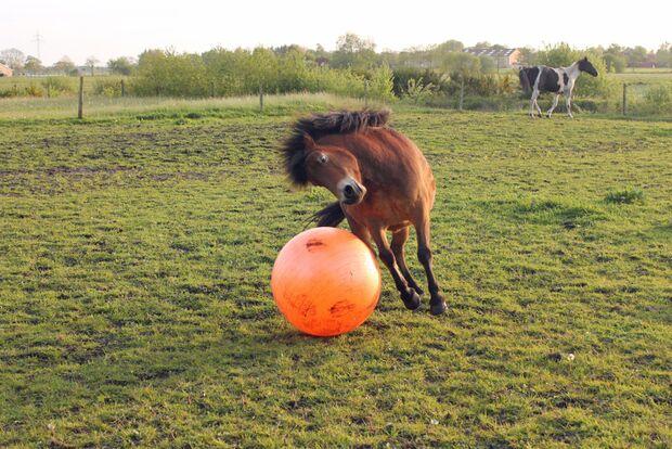 CAV Pferd spielt Ball Tasmate 9