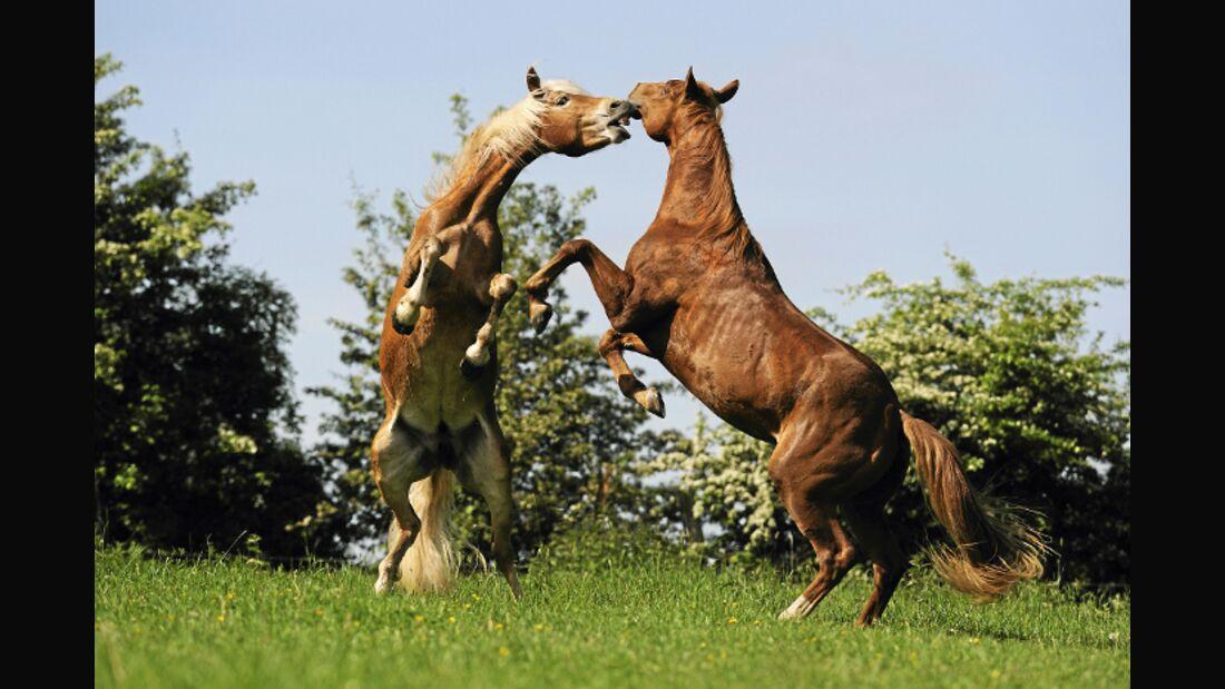 CAV Pferde Koppel Keilerei