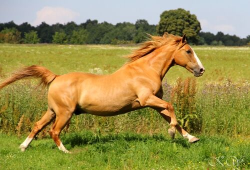 CAV Pferde Senioren Halbblut Wallach Charly 22 MS
