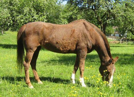CAV Pferde Senioren Stute Aline 31 MS