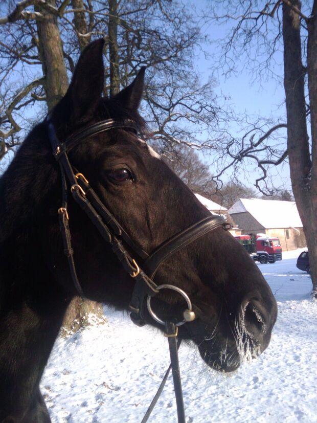 CAV Pferde Senioren Stute Hilde MS