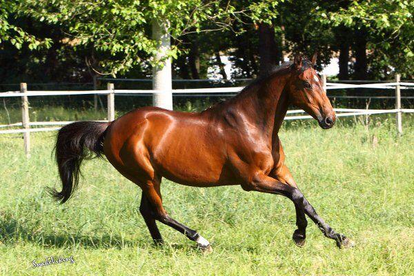 CAV Pferde Senioren Vollblut Wallach 22 MS