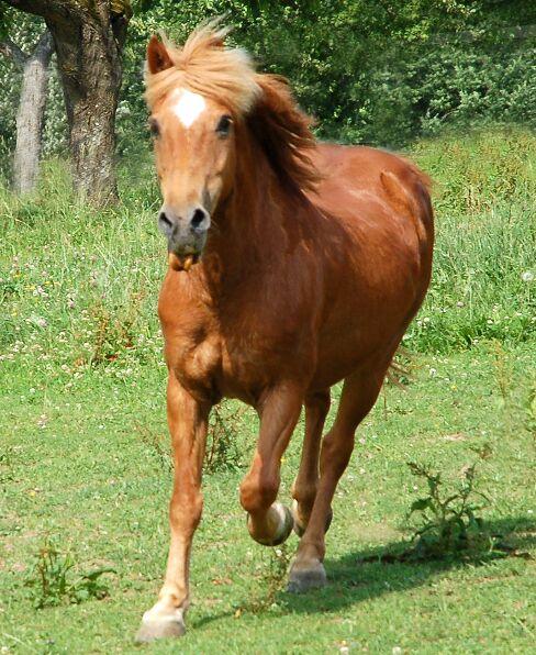 CAV Pferde Senioren Wallach Benny 29 MS