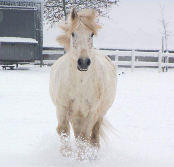 CAV Pferde Senioren Wallach Chap 27 MS