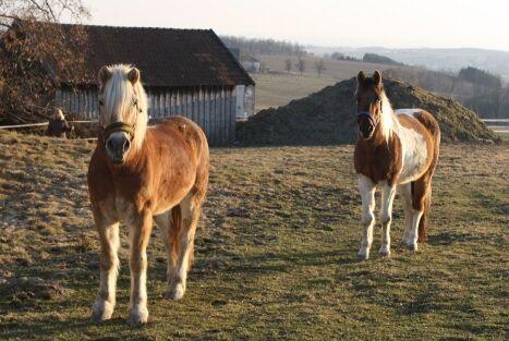 CAV Pferde Senioren Wallach Haflinger Benny Schecke Schoschone MSMS
