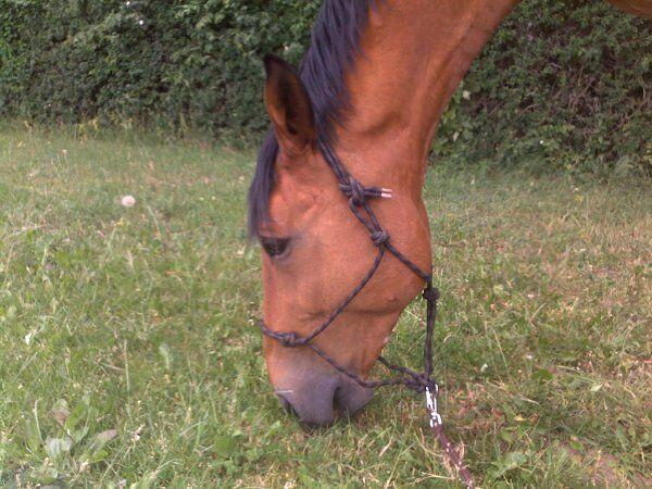 CAV Pferde Senioren Wallach Mecklenburger Berto 21  MS