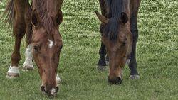 CAV Pferde auf der Weide - Pixabay