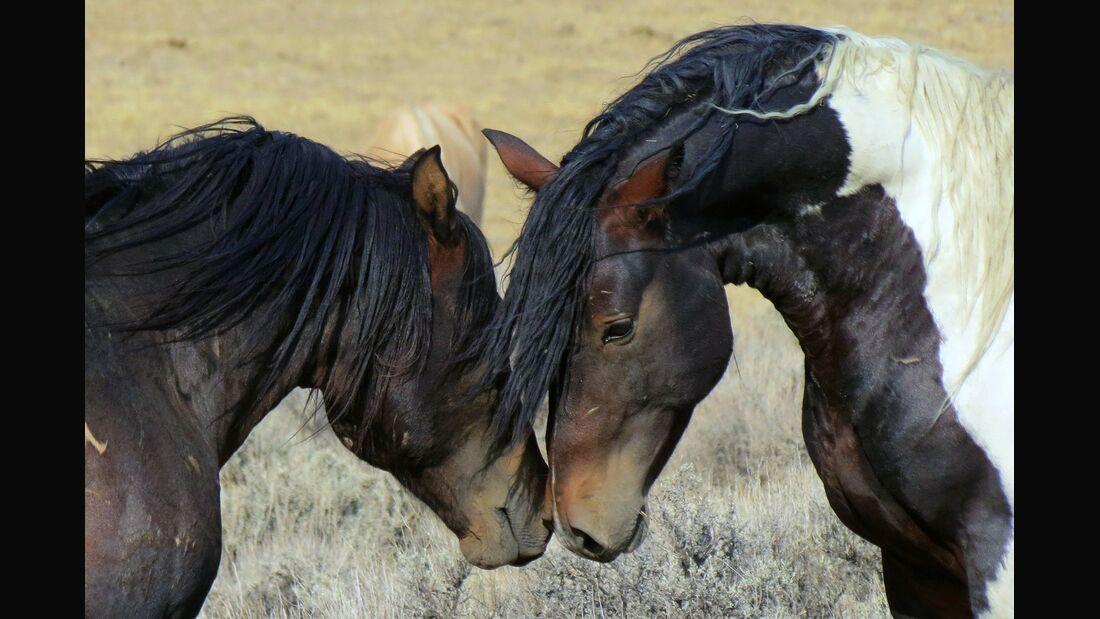 CAV Pferde beschnuppern sich Harmonie Team