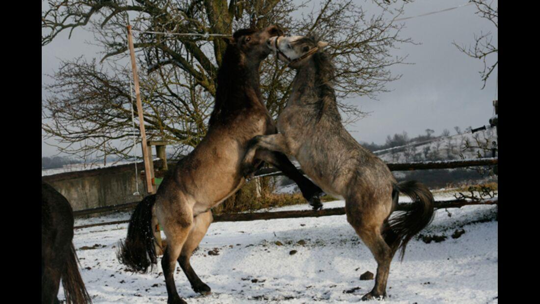 CAV Pferde im Schnee Winter 2012-10-30 Dun Iltschi (li.) und TGH Gil'Galad (re.) 9