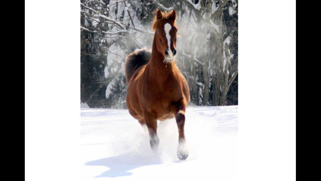 "CAV Pferde im Schnee Winter 2012-10-30 Morgan Horse Wallach ""Fleeting Jack"" 1"