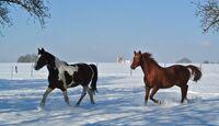 CAV Pferde im Schnee Winter 7