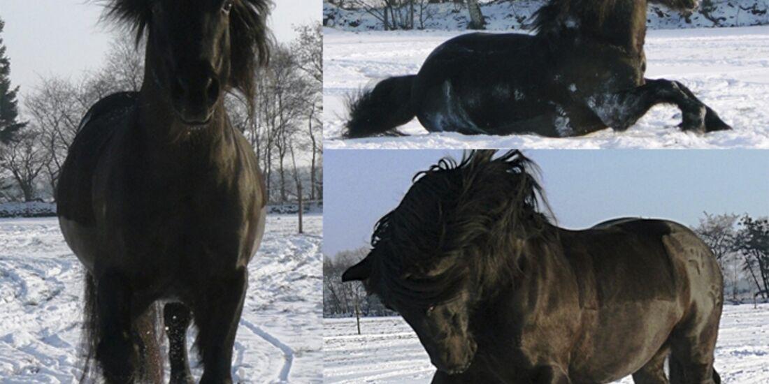CAV Pferde im Schnee Winter - Coednewydd