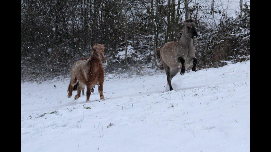CAV Pferde im Schnee Winter - Marlon und Wybbo