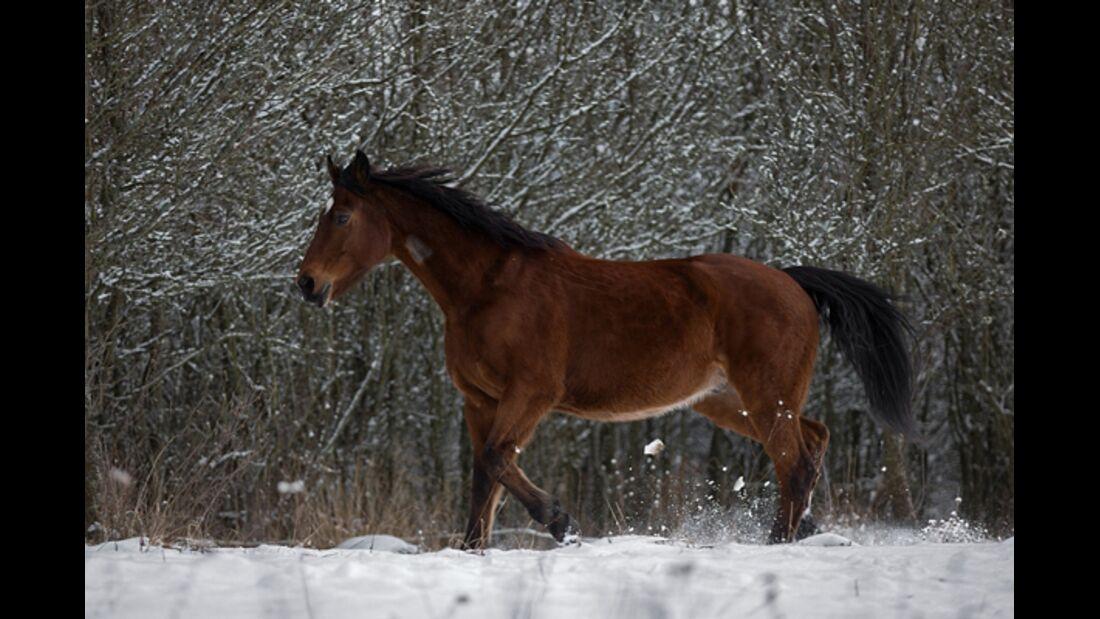 CAV Pferde im Schnee Winter - Rednex
