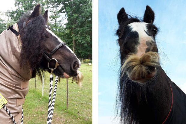 CAV Pferde mit Bart Chantal Martin