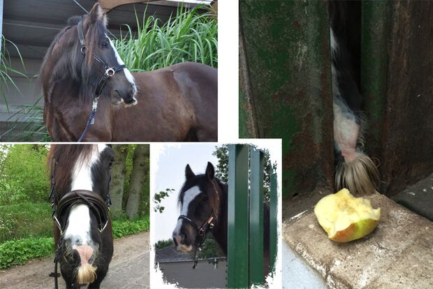 CAV Pferde mit Bart Leserfotos Ellen Stawitz