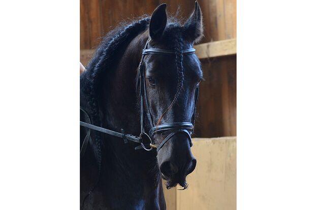 CAV Pferde mit Bart Stefanie Maass