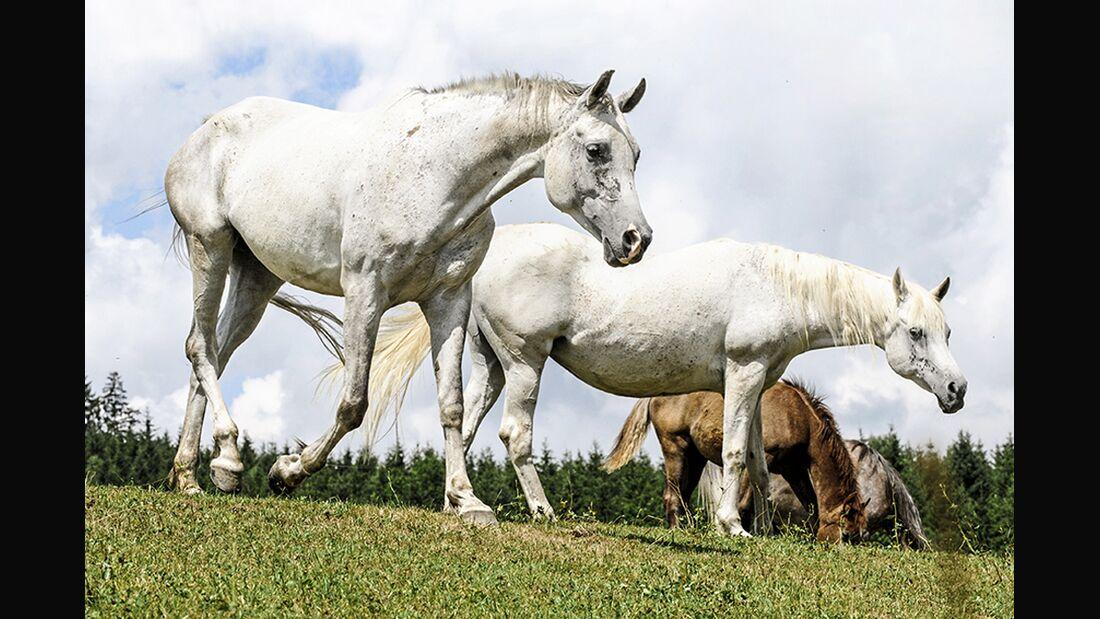 CAV Pferde nicken