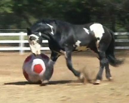 CAV Pferde spielen Ball Motiv 4