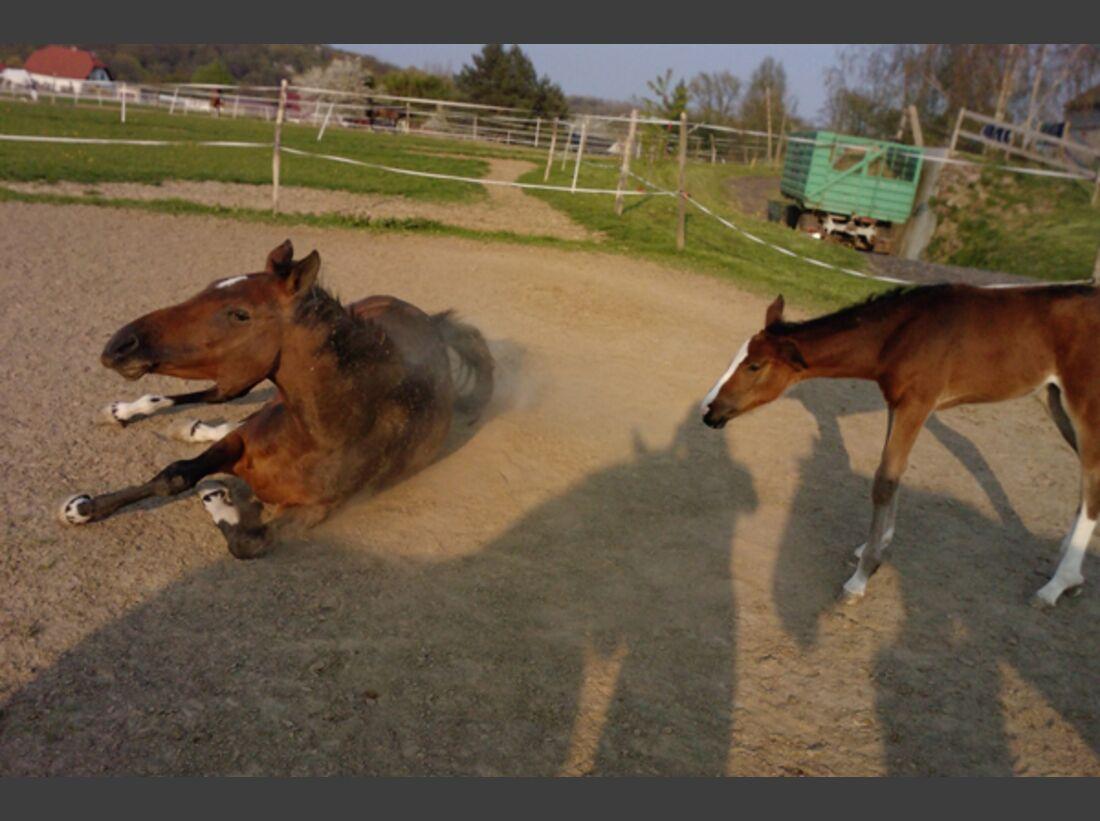 CAV Pferde wälzen 1