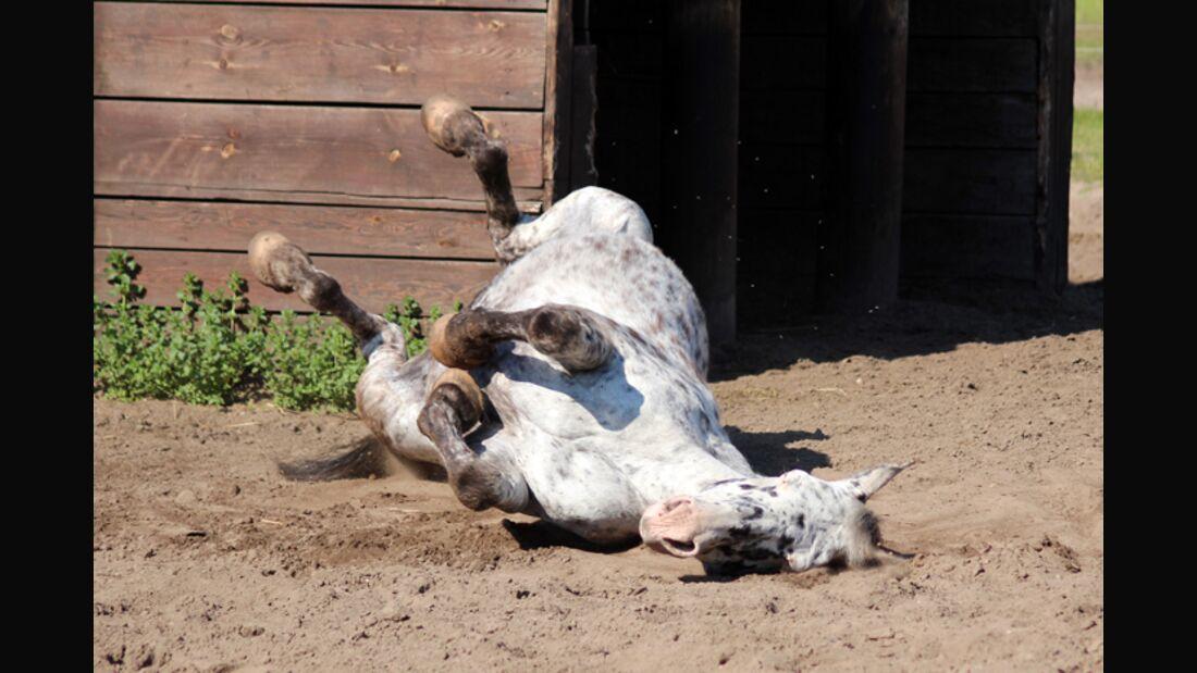 CAV Pferde wälzen 61