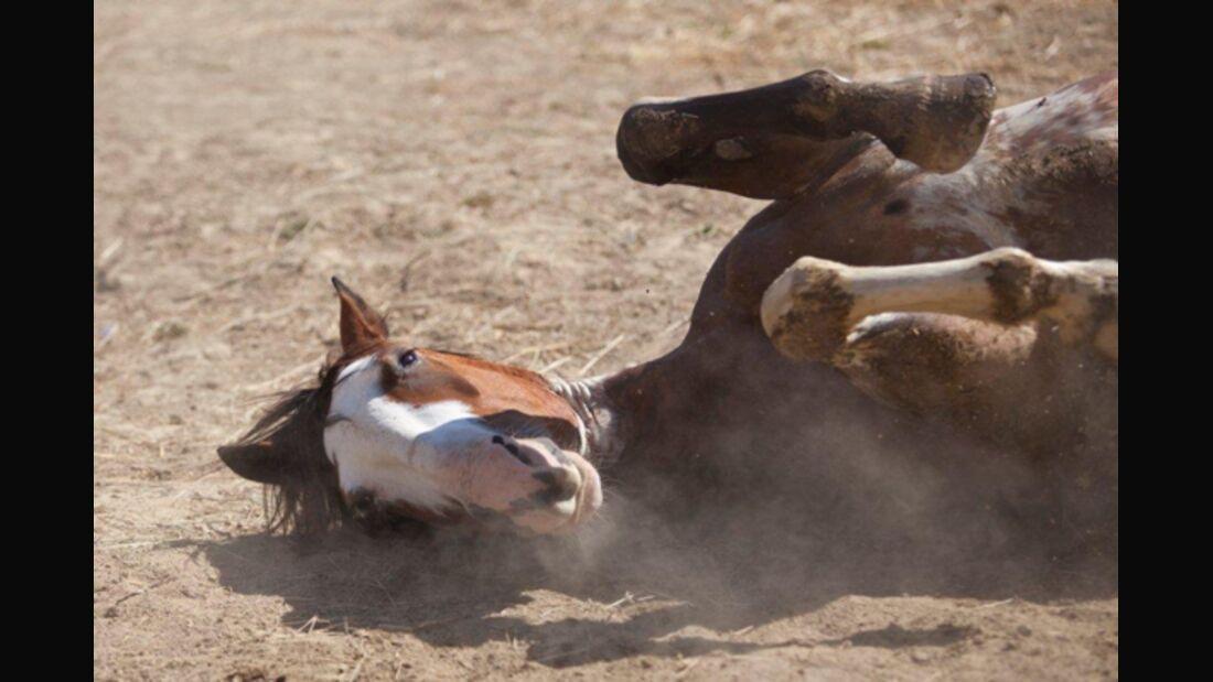 CAV Pferde wälzen 8