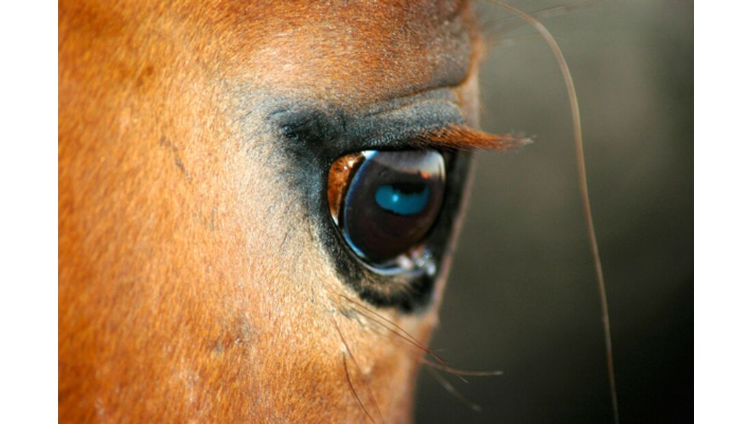 CAV Pferdeaugen 1