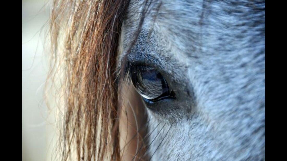 CAV Pferdeaugen Augen Ägyptischer Vollblutaraber MS _21