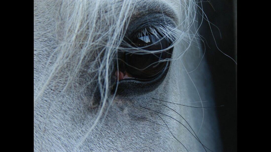 CAV Pferdeaugen Augen Andalusier MS_65
