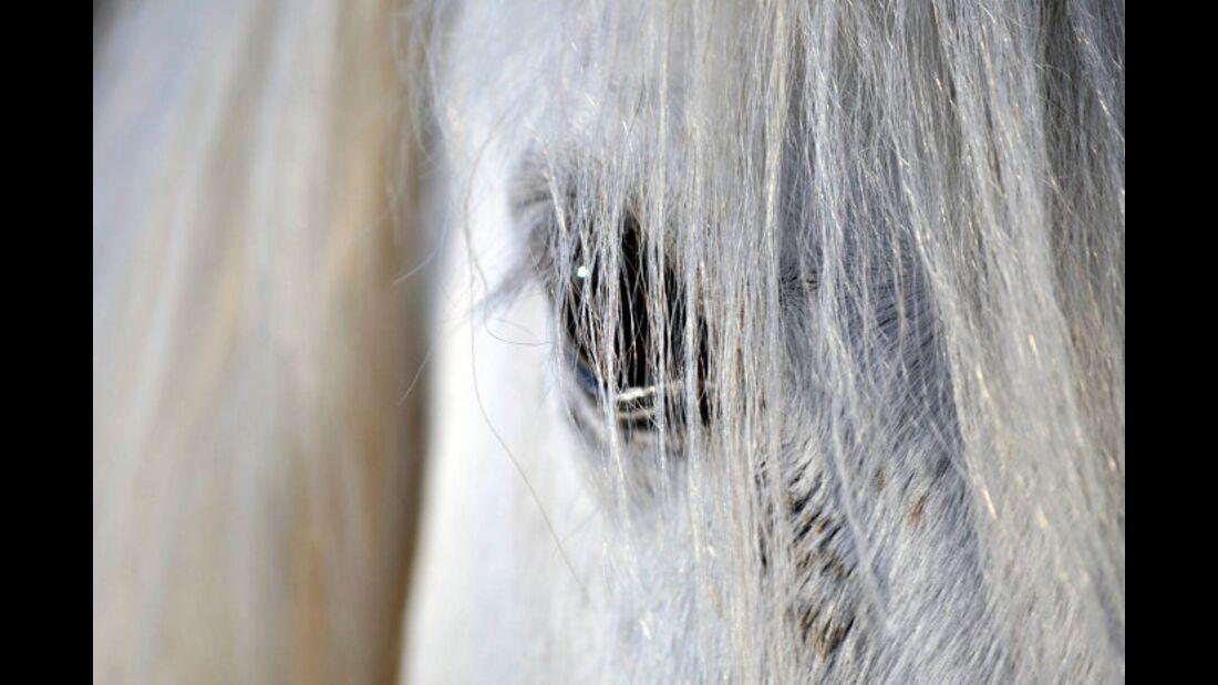 CAV Pferdeaugen Augen Araber MS_29