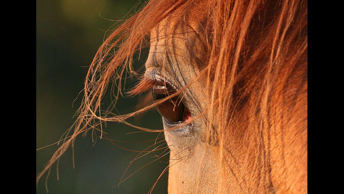 CAV Pferdeaugen Augen Araber MS_55