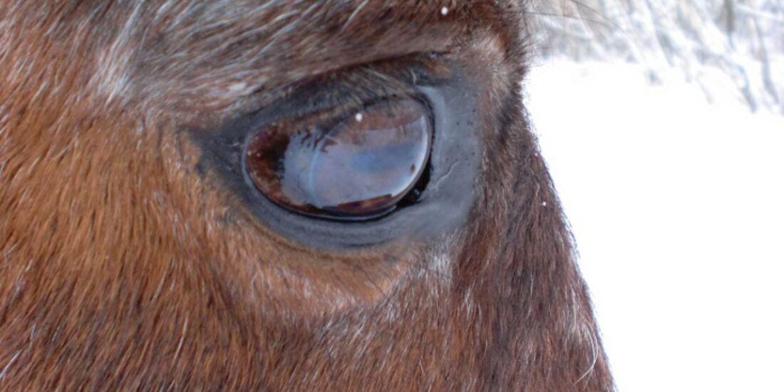 CAV Pferdeaugen Augen Araber MS_64