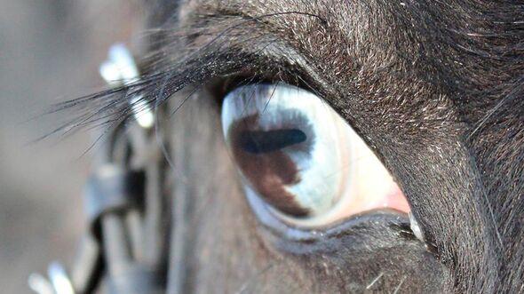 CAV Pferdeaugen Augen Denise Hoffmann